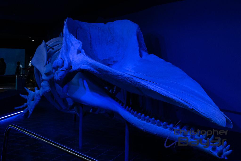 Skelett eines Pottwals